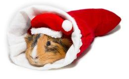 Морская свинка в рождестве Стоковая Фотография
