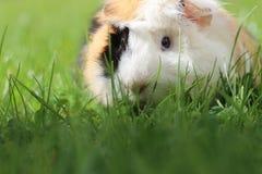 Морская свинка в траве Стоковое Изображение RF