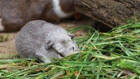 Морская свинка ест aperea f Cavia зеленой травы porcellus сток-видео