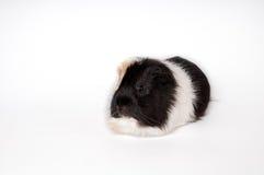 Морская свинка изолированная на белой предпосылке Стоковое Фото