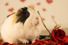 Морская свинка на день ` s валентинки стоковая фотография rf