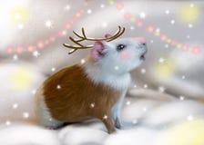 Морская свинка на открытом воздухе в зиме одетой как олени Дети пойдут сумасшедшими над этим бесплатная иллюстрация