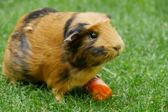 Морская свинка с морковью Стоковое Фото