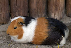 морская свинка Стоковая Фотография RF
