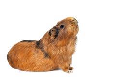 Морская свинка Стоковое Изображение RF