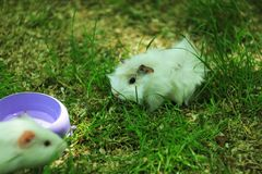 Морская свинка Newborn младенца белая покрашенная также известная как cavy, отечественный cavy или cavia пася свежую траву и зерн стоковые фотографии rf