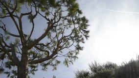 Морская сосна во французской ривьере в солнечном зимнем дне видеоматериал