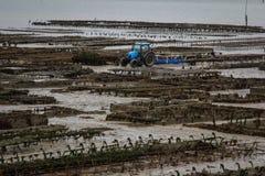 Морская ферма устрицы на береге моря Kelst и голубая деятельность трактора вдоль строк с устрицами в Нормандии, Франции стоковые фотографии rf