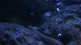 Морская флора и фауна в городском аквариуме - угрях мурены сток-видео