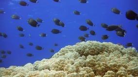 Морская флора и фауна на троповом рифе Школа рыб ангела акции видеоматериалы