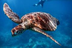 Морская черепаха в большом барьерном рифе, Австралии стоковая фотография rf