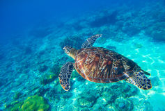 Морская черепаха в воде Одичалая черепаха плавая под водой в голубом тропическом море Стоковые Изображения