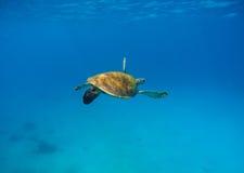 Морская черепаха в воде с синей предпосылкой Подводная фотография одичалого океанского животного Стоковое Фото