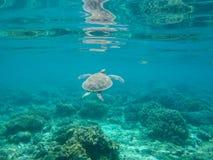Морская черепаха в воде тропового святилища Зеленая черепаха в морской воде Стоковое фото RF