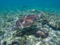 Морская черепаха в коралловом рифе и морских водорослях Зеленая черепаха в морской воде Стоковая Фотография