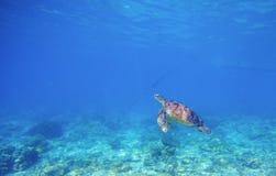 Морская черепаха в мелководье Одичалая черепаха плавает под водой в голубом тропическом море Стоковое Фото