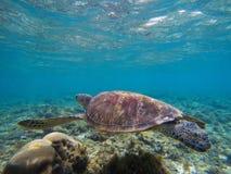 Морская черепаха в морской воде мелководного моря коралловым рифом Океанское животное с раковиной и ребрами Стоковая Фотография