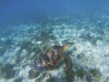 Морская черепаха в окружающей среде Зеленая черепаха плавает под водой Стоковая Фотография