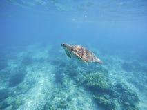 Морская черепаха в святилище Филиппин Зеленая черепаха в морской воде Стоковая Фотография
