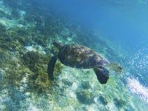 Морская черепаха в солнечности Фото кораллового рифа животное подводное Морская черепаха под водой Стоковое Фото