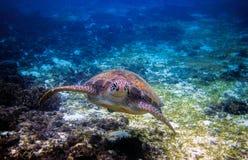 Морская черепаха в тропическом seashore Тропическая природа моря экзотического острова Стоковое фото RF