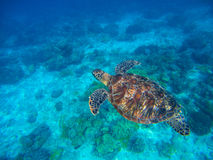 Морская черепаха в ясной морской воде над seabottom песка Тропическая природа моря экзотического острова Стоковая Фотография RF