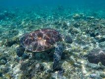Морская черепаха есть морские водоросли Зеленая черепаха в морской воде Стоковые Фото