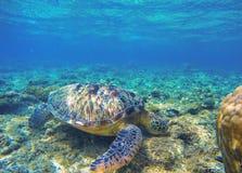 Морская черепаха есть морские водоросли на seabottom Зеленая черепаха в одичалой природе Стоковое Изображение RF