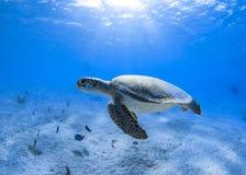 Морская черепаха зеленого цвета Бонайре Стоковая Фотография RF