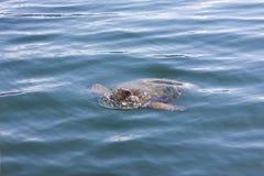 Морская черепаха морской черепахи в море стоковое фото rf