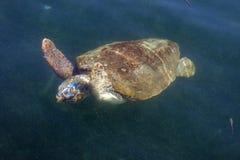 Морская черепаха морской черепахи в море стоковые фото