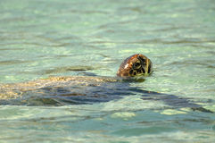 Морская черепаха на Cerro Brujo Стоковое Изображение