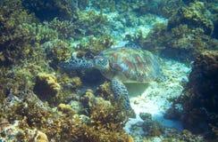 Морская черепаха на seabottom с кораллами Зеленый крупный план морской черепахи Живая природа тропического кораллового рифа Череп Стоковая Фотография RF