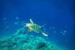 Морская черепаха, остров Gilli, lombok Стоковые Изображения RF