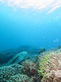 Морская черепаха с акулой на его назад Стоковые Изображения