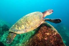 Морская черепаха Стоковая Фотография RF