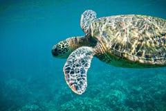 Морская черепаха Стоковые Фотографии RF