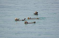 Морские выдры играя в океане Стоковая Фотография RF