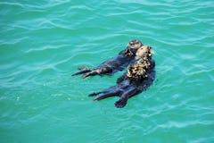 Морские выдры Калифорнии Стоковые Фотографии RF