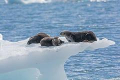 Морские выдры на айсберге льда Стоковое фото RF
