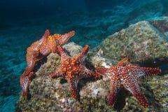 Морские звезды в ландшафте рифа красочном подводном Стоковое Фото