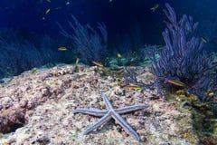 Морские звезды в ландшафте рифа красочном подводном Стоковые Изображения RF