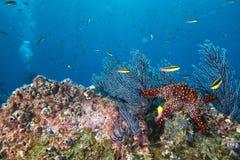 Морские звезды в ландшафте рифа красочном подводном Стоковые Фото