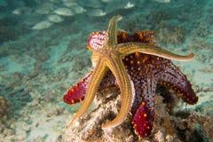 Морские звезды в ландшафте рифа красочном подводном Стоковые Фотографии RF