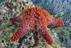 Морские звезды в ландшафте рифа красочном подводном Стоковое Изображение RF