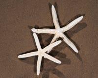 Морские звёзды белого пальца лежа на влажном песке на пляже Класс Asteroidea стоковое фото rf