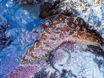 Морские звёзды на пляже малая вода влияния Стоковые Фотографии RF