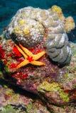 Морские звёзды ожерелья Стоковая Фотография RF