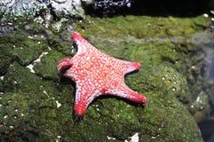 Морские звёзды Handshaking Стоковые Фотографии RF