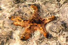 Морские звёзды во время отлива Стоковые Фотографии RF